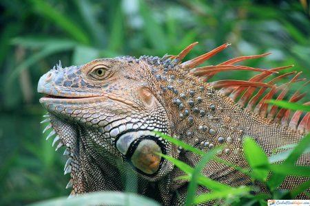 iguanas-costa-rica